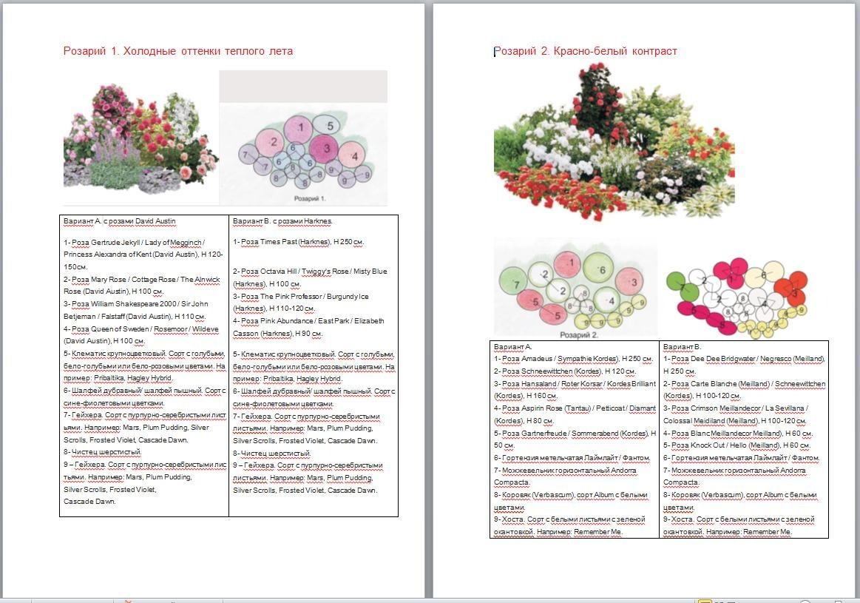 Схема посадки роз остина фото
