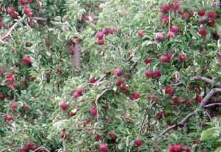Сад из карликовых яблонь