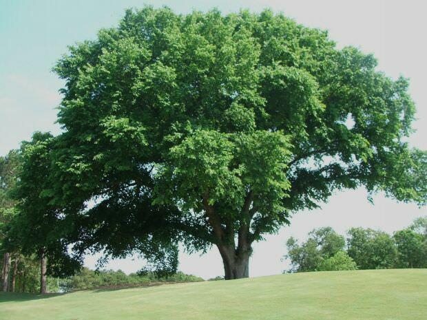 Дерево вяз фото и описание