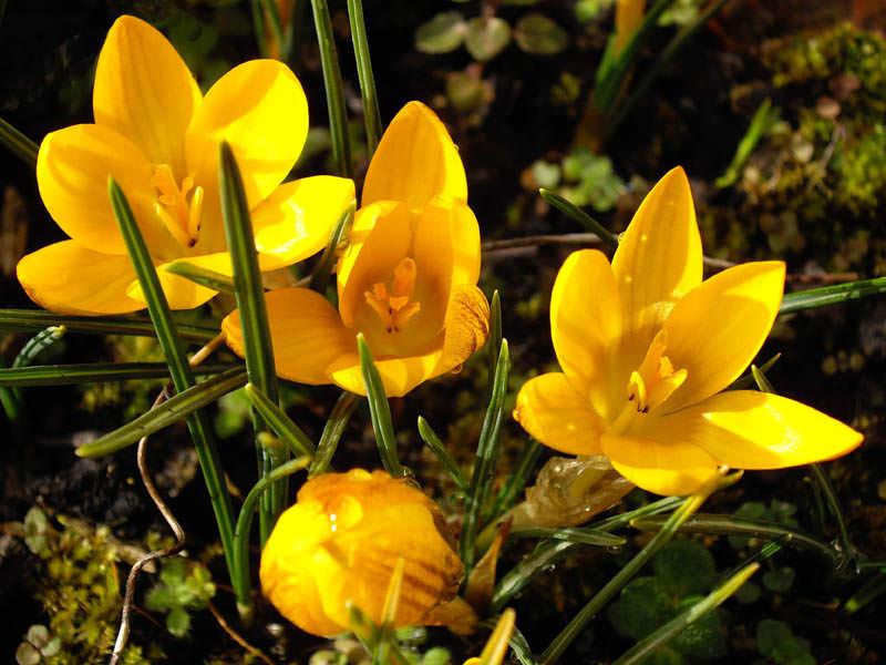 Красивые цветы шафрана