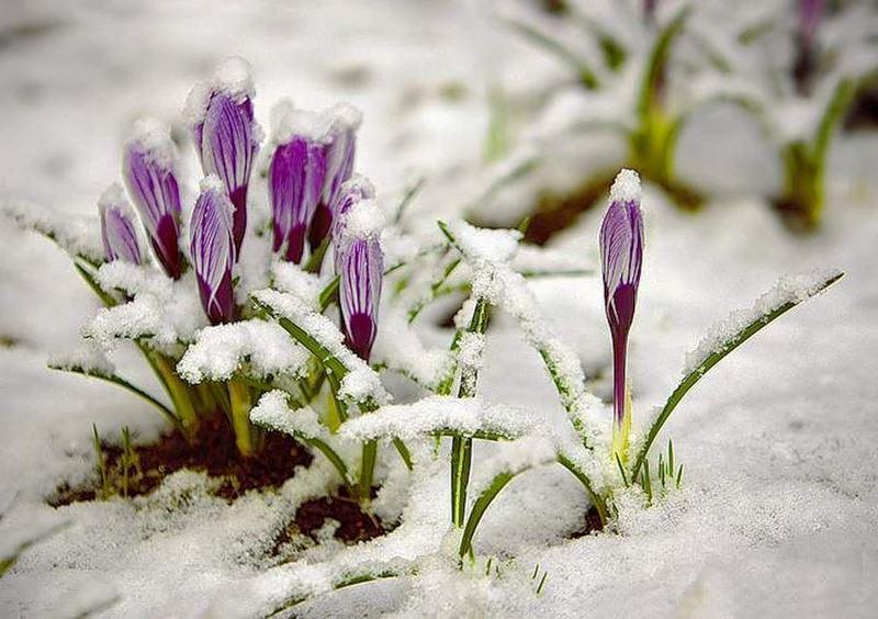 Крокус цветок фото