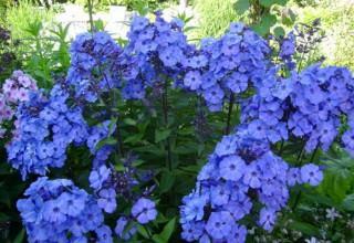 Флоксы - любимые цветы садоводов