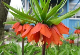 Рябчики или Фритиллярия– Fritillaria
