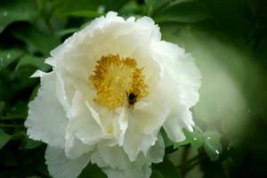 Пион древовидный paeonia suffruticosa