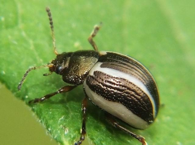 Описание жука листоеда великолепного