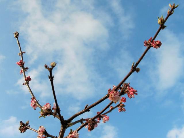 Калина кустарник или дерево