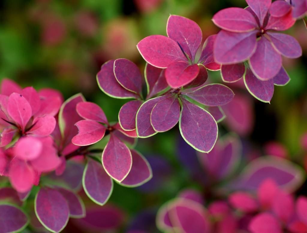 Кислица фиолетовая размножение