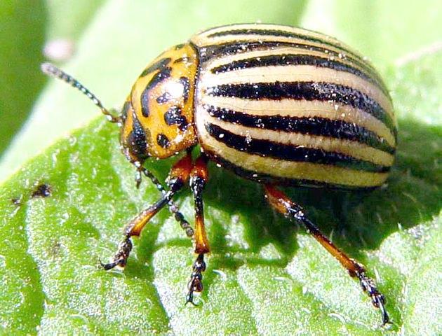 Борьба с колорадским жуком в США