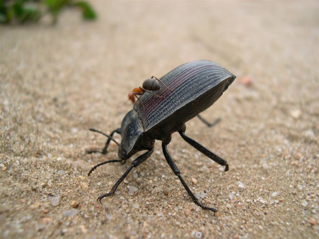 Жужелица против колорадского жука технология