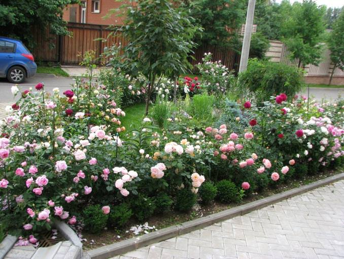 На каком расстоянии сажать кустовые розы друг от друга 24