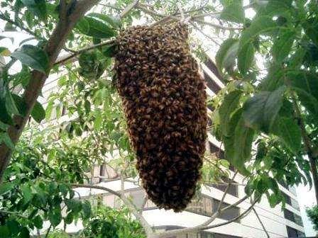 «Сбежавший» пчелиный рой