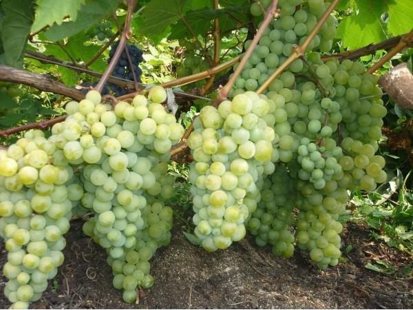 Выращиваем виноград