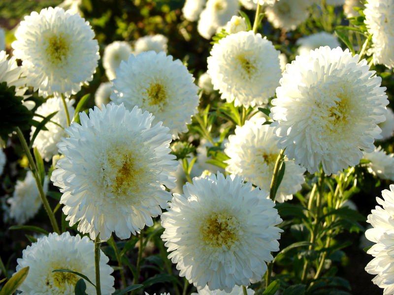 Цветы астра махровая карликовая