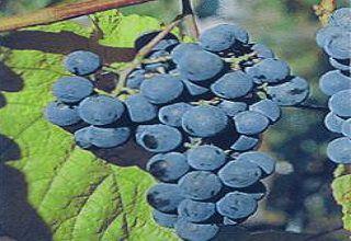 Как вырастить виноград амурский