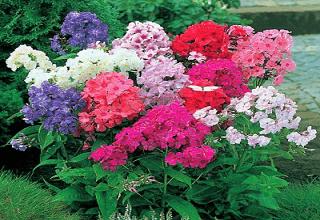 Флоксы в цветущем палисаднике