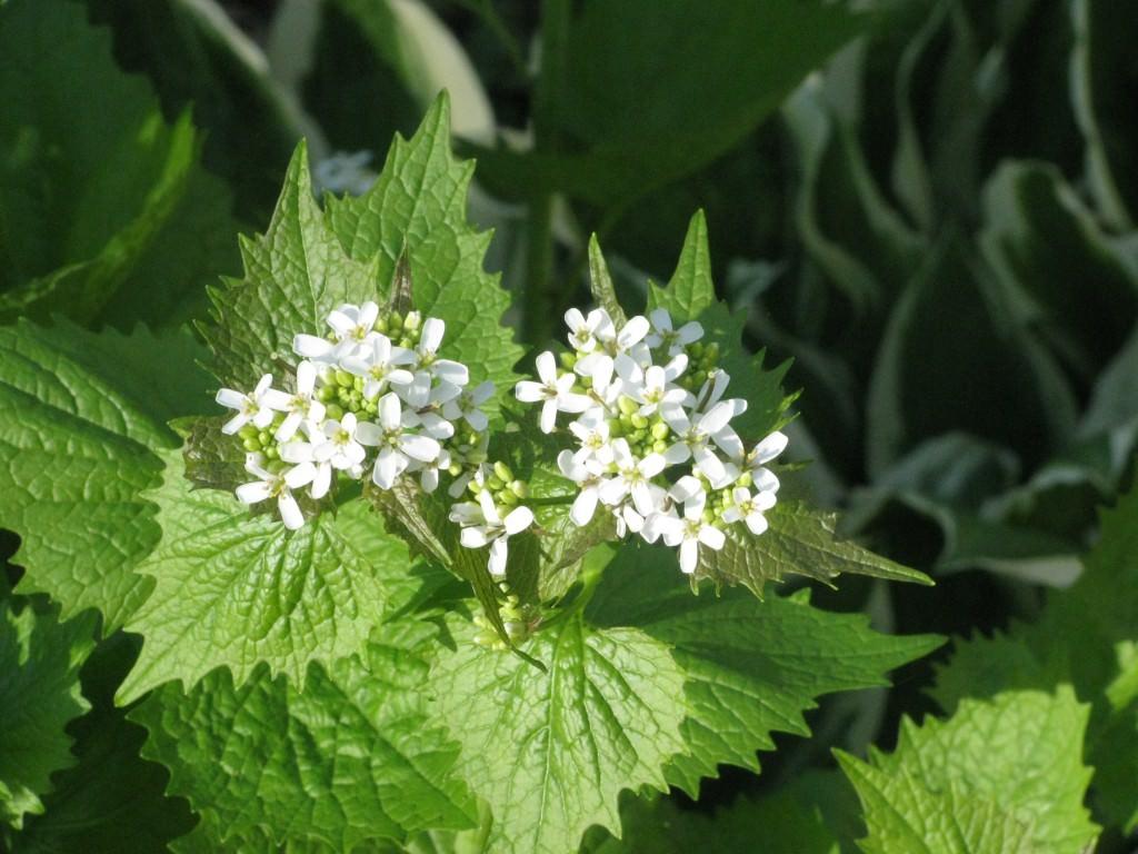 Основные сорняки овощных культур и картофеля