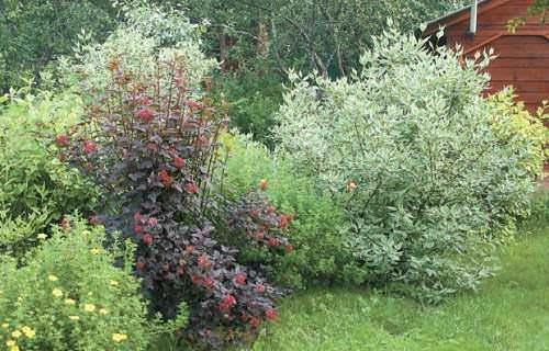 Как ухаживать за плодовыми кустарниками?