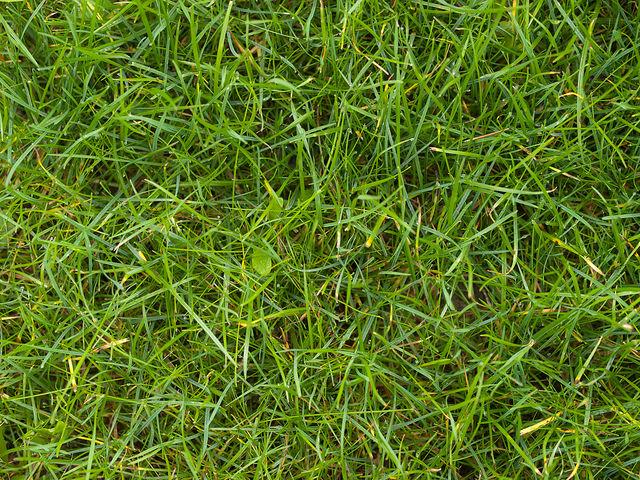Обычный газон самый неприхотливый