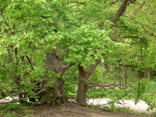 Дерево вяз как выглядит