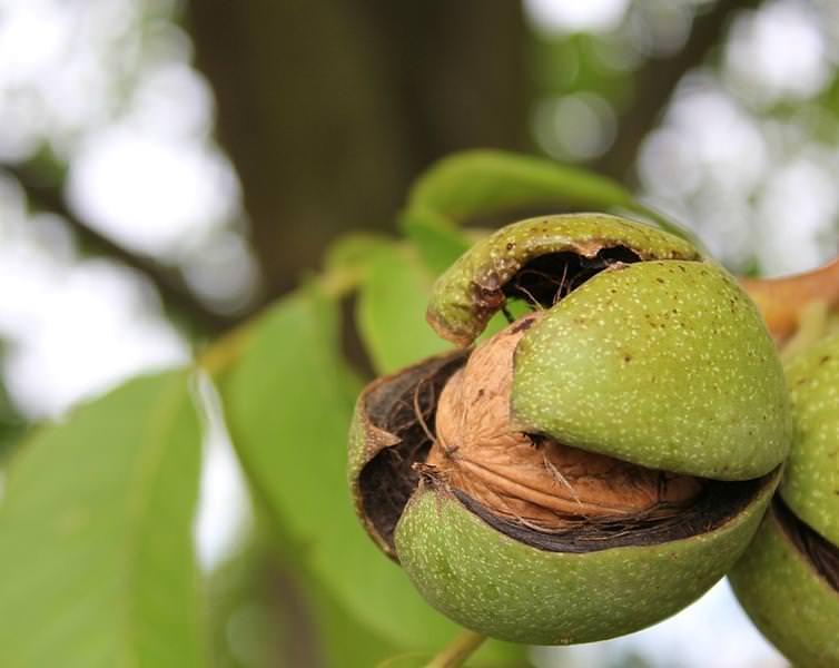 Как правильно выращивать грецкий орех?
