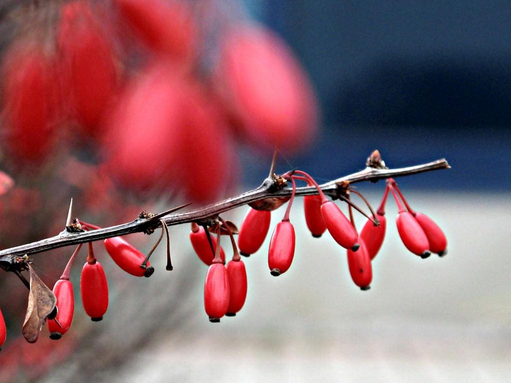 Как готовить к зиме деревья айву?