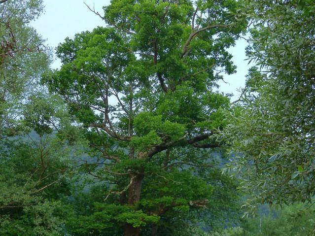 Дерево ольха фото и описание