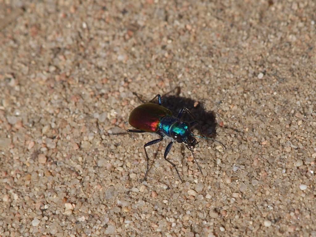 Колорадский жук их биологические враги