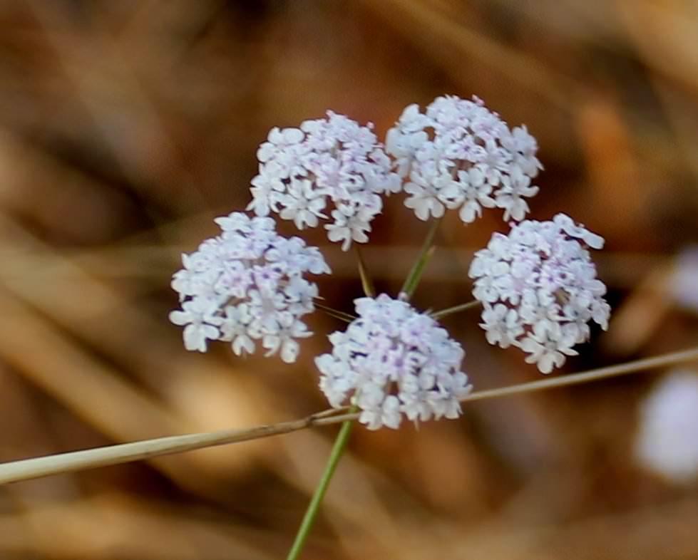 Цветок бедренец фото и описание