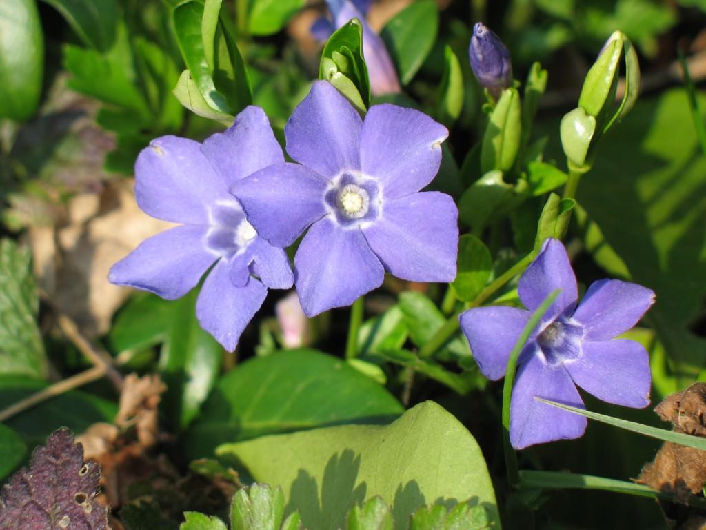 барвинок комнатный цветок фото