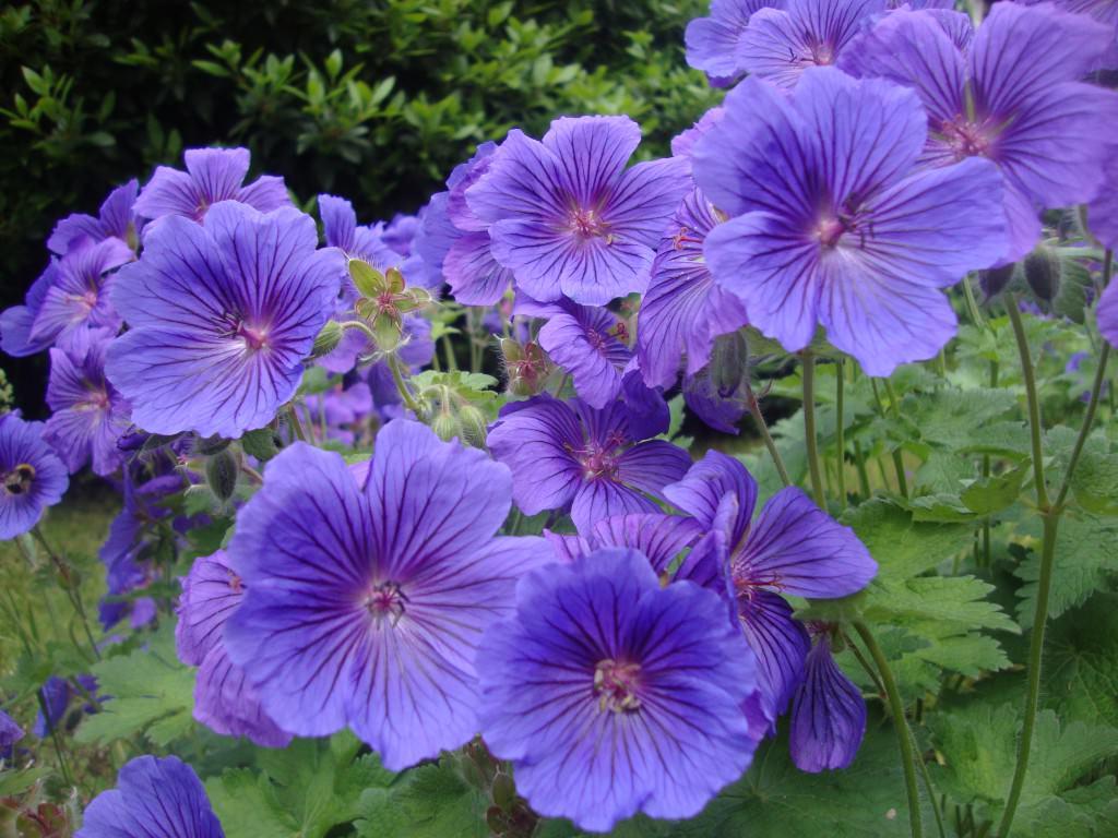 Герань луговая фиолетовые пташки
