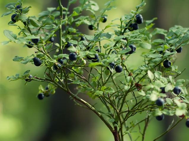 Как вырастить простым способом Семена голубики?