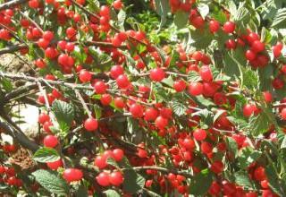 Карликова вишня