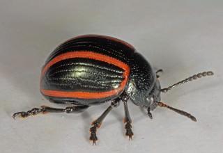 Deuterocampta quadrijuga (Blue heliotrope leaf beetle)
