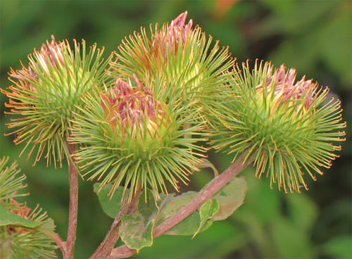 Репейник фото растения