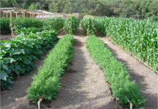 Узкие урожайные грядки