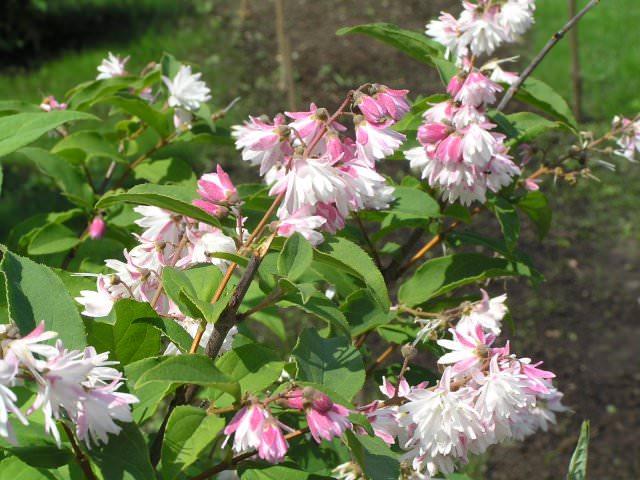 Нежное цветение розовой