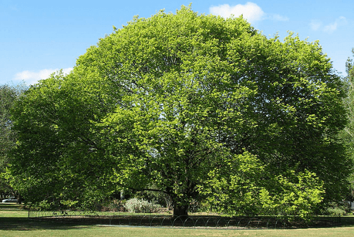 Дерево вяз фото