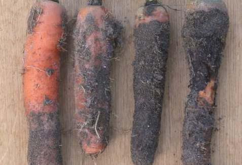 Болезни моркови фото