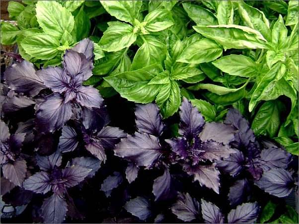 Какие растения репелленты от белокрылки?