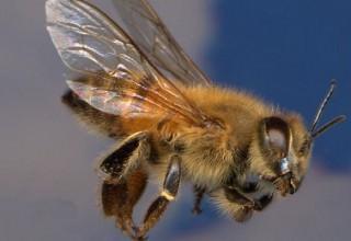 Как избавиться от пчел на приусадебном участке