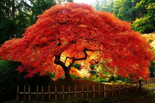 Японский клен фото
