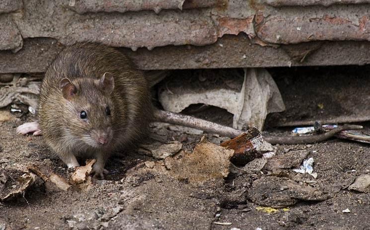 Борьба с крысами и мышам в частном доме