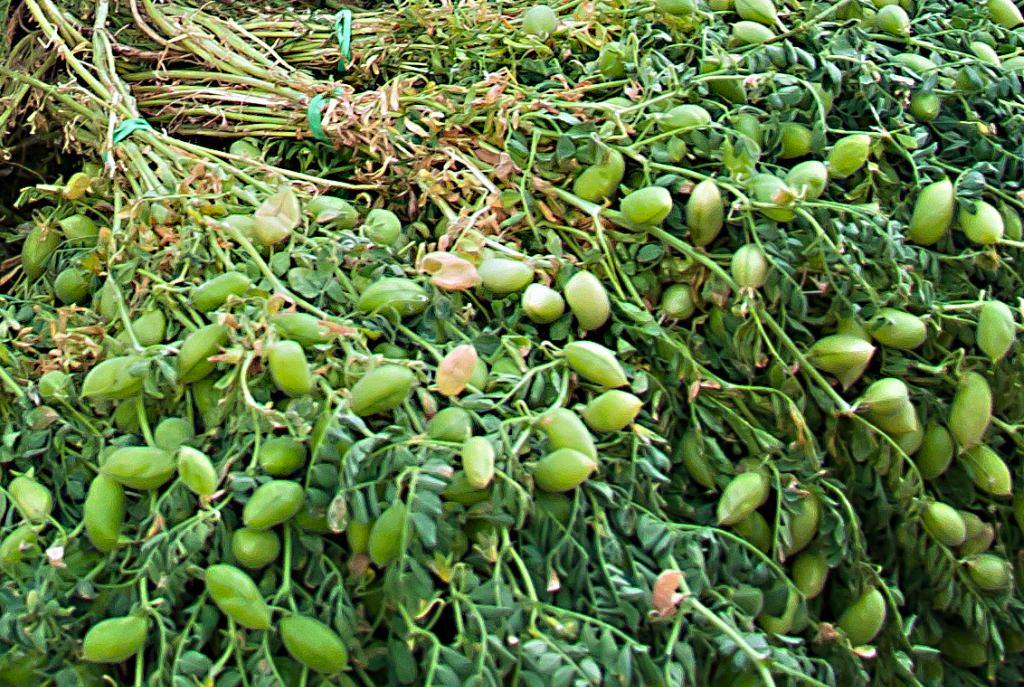 Выращивание чечевицы в сибири 2381