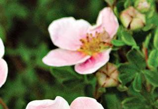 Курильский чай или лапчатка - любимый цветок дизайнеров