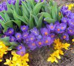 mnogoletnie-cvety