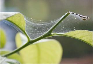 Паутинный клещ на растениях