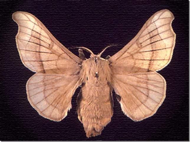 Фото гусеницы непарного шелкопряда