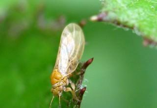Медяница - опасный вредитель сада