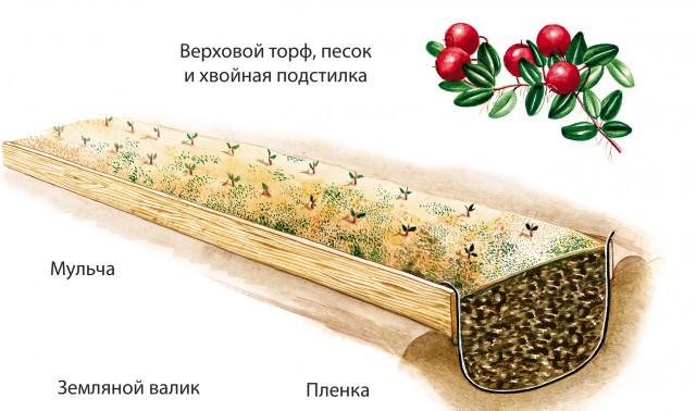 Как размножается клюква садовая?