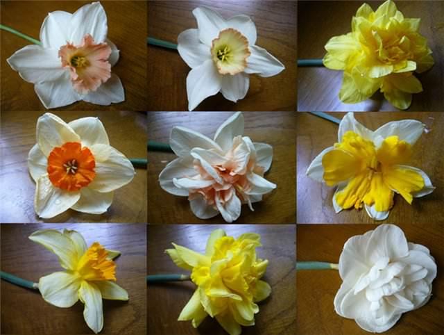 Нарциссы фото цветов